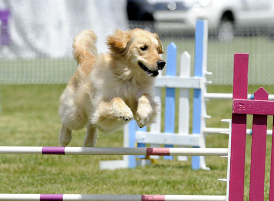 Golden retriever club gb